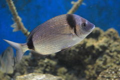 Two-banded bream Royalty Free Stock Photos