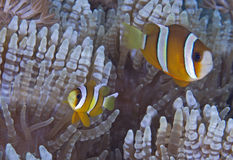 Two-banded clownfish nestle in beaded tentacle anemone. Stock Photos