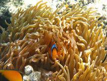 Two-banded clownfish and sea anemones Royalty Free Stock Images