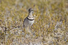 Two-banded courser Stock Photo