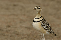 Two-banded Courser (Rhinoptilus africanus) Royalty Free Stock Photo