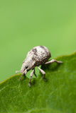 Two-Banded Japanese Weevil Stock Image