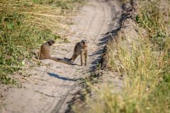Two Banded mongoose on the road. Two Banded mongoose on the road in the Chobe National Park, Botswana Royalty Free Stock Photography