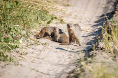 Two Banded mongoose on the road. A group of Banded mongoose on the road in the Chobe National Park, Botswana Stock Photography