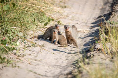 Two Banded mongoose on the road. A group of Banded mongoose on the road in the Chobe National Park, Botswana Stock Photos