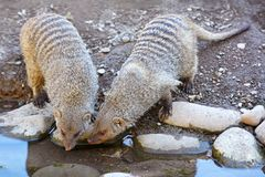 Two Banded Mongoose, species Mungos Mungo, drinking together at watering place royalty free stock photography