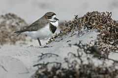 Two-banded plover, Charadrius falklandicus Stock Image