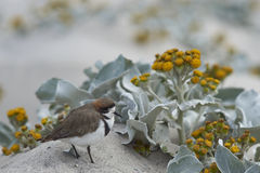 Two-banded Plover on a sandy beach Stock Photography