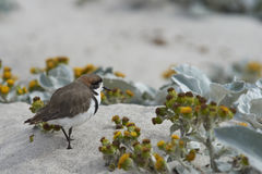 Two-banded Plover on a sandy beach Royalty Free Stock Photography
