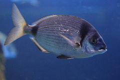 Two-banded sea bream Stock Image
