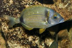 Two banded Sea Bream (Diplodus vulgaris) Stock Image