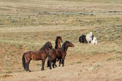 Two Bands of Wild Horses Meeting on the Prairie Stock Image