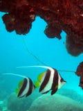 Two bannerfish. Banner fish swim under the rocks Royalty Free Stock Photo