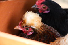 Two bantam chickens Stock Photo