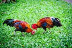 Two Bantam - small chicken breed Black Chickens walking and Being Fed Fresh Green Grass ,Local Thailand royalty free stock image
