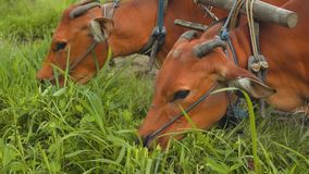 Two banteng cows in plow eating grass stock footage