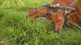 Two banteng cows in plow eating grass stock video footage
