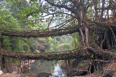 Two banyan fig tree bridge in India Royalty Free Stock Images