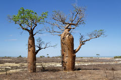 Two Baobabs Royalty Free Stock Images