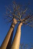 Two baobabs in perspective. Two baobab trees photographed with perspective from below with blue sky background Stock Image