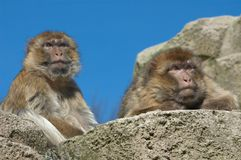 Two barbary apes Royalty Free Stock Photography