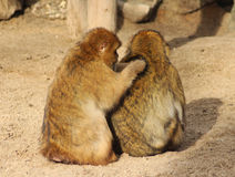 Two Barbary macaque Stock Photo