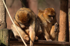 Two Barbary macaque Royalty Free Stock Photography
