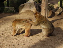 Two Barbary macaque Stock Images