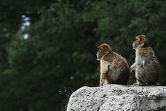 Two Barbary Macaques. (Macaca sylvanus) look out in the distance on a cliff stock images