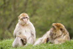 Two Barbary macaques Stock Photography