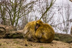 Two barbary macaques sitting close together and hugging each other, animal love, Endangered animal specie from morocco royalty free stock photo