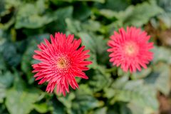 Two Barberton daisy gerbera with leaves in background. Known Transvaal daisy or Barbertonse madeliefie, Gerbera jamesonii is a royalty free stock photo
