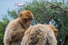 Two barbery apes at Gibraltar. Two barbery apes sitting and grooming on a wall at the Gibraltar nature reserve against scenic seascape on a cloudy day Royalty Free Stock Image