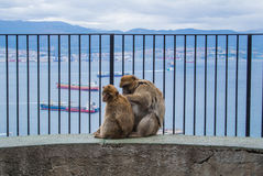 Two barbery apes at Gibraltar. Two barbery apes sitting and grooming on a wall at the top of The Rock of Gibraltar against scenic seascape on a cloudy day Royalty Free Stock Photography