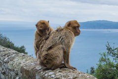 Two barbery apes in Gibraltar. Two barbery apes sitting and grooming on a wall at the top of The Rock of Gibraltar against scenic seascape on a cloudy day Royalty Free Stock Photos