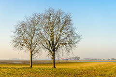 Two bare trees in the foreground of a flat marshy landscape. In a nature reserve in the Netherlands. It is a sunny day in the end of the winter season. A bird`s royalty free stock images