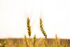 Two barley branch. Close up two barley branch on barley farming Stock Photography