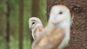 Two barn owl (tyto alba) in the wildlife stock video footage