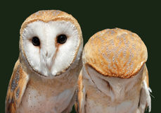 Two Barn Owls Royalty Free Stock Photo