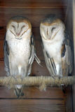 Two Barn Owls at the Zoo. Two Barn Owls on a Perch at the Zoo Stock Image