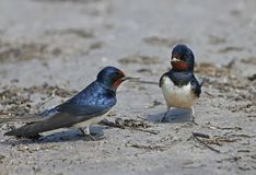 Two Barn Swallow collects on the river bank building material. For a future nest. Close up and detailed photo Royalty Free Stock Image