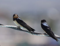 Swallows. Two Barn Swallows perched on a wire royalty free stock images