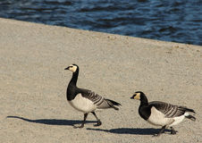 Two Barnacle Geese Stock Images
