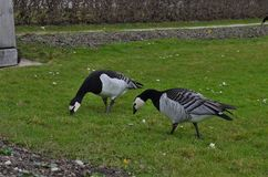 Two barnacle geese eating grass in Munich in Germany royalty free stock photos