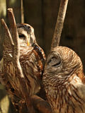 Two Barred owls. Pair of Barred owls on a perch Stock Photo