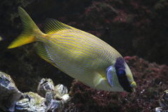 Two barred rabbitfish. The Two Barred Rabbitfish, also known as the Barred Spinefoot, usually travels in pairs among the reefs of the Indo-West Pacific. It has royalty free stock photos