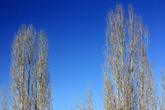 Two barren tree with blue sky Royalty Free Stock Image