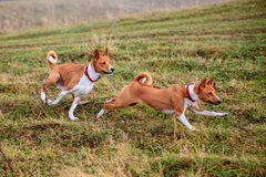 Two Basenji dogs in autumn Royalty Free Stock Image