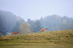 Two Basenji dogs in autumn Royalty Free Stock Images