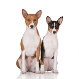 Two basenji dogs posing on white Stock Image